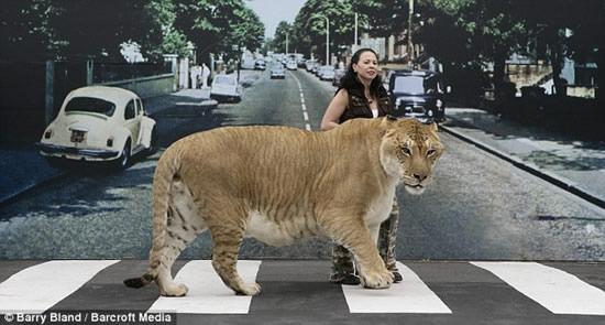 Крупнейшая в мире кошка